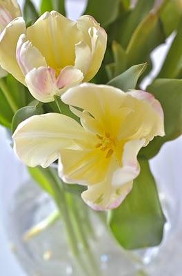 Tulips blushing