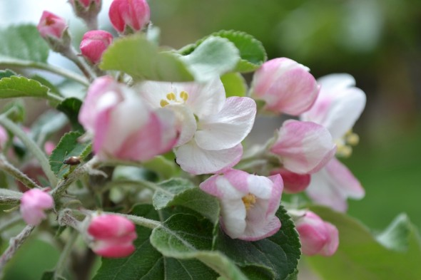 Classiq-April Blooms-2